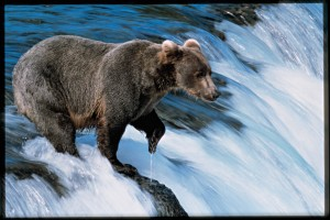 CEL_Alaska_WaterfallBear