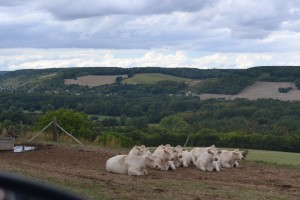 Cows along the road are a common sight